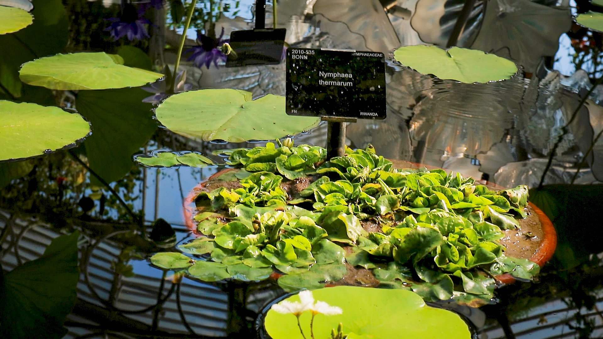 A picture of the smallest water Lily in the world while on water at Kew gardens