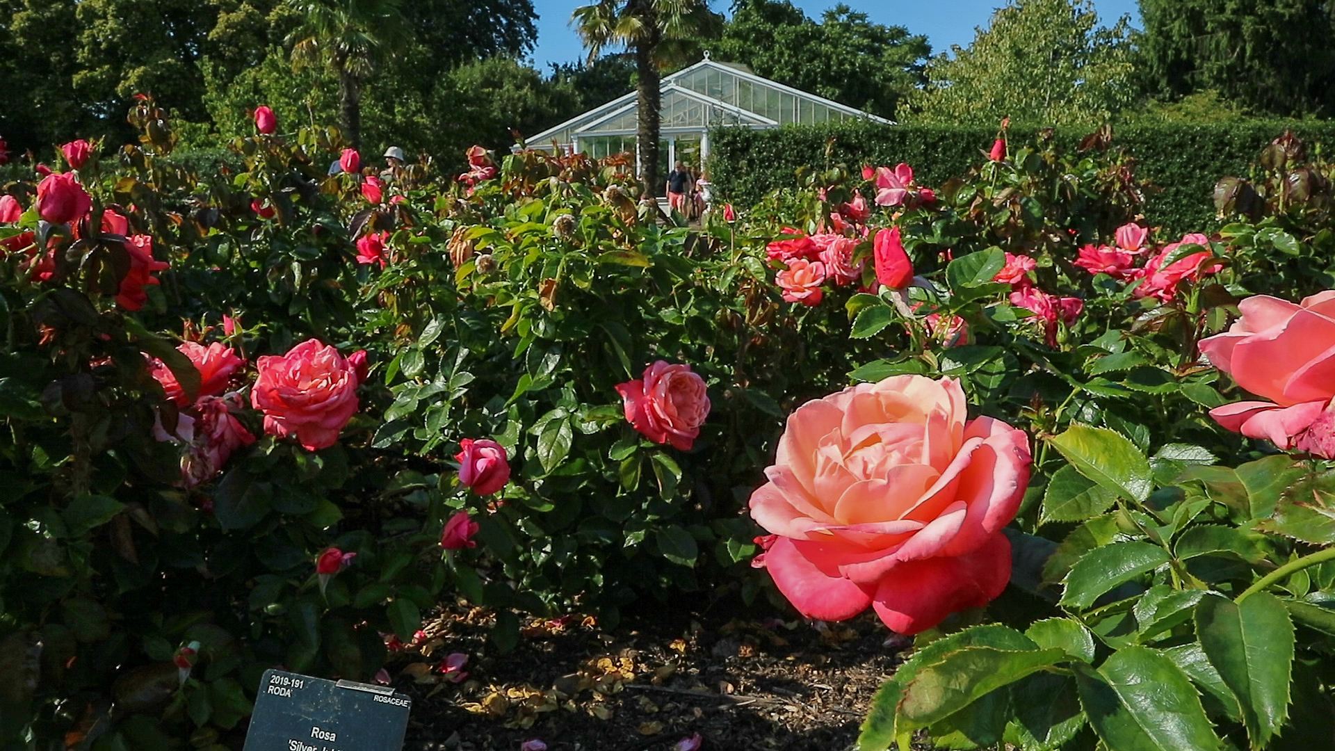 Many blossomed red roses at Kew gardens with the water Lilly house at the background
